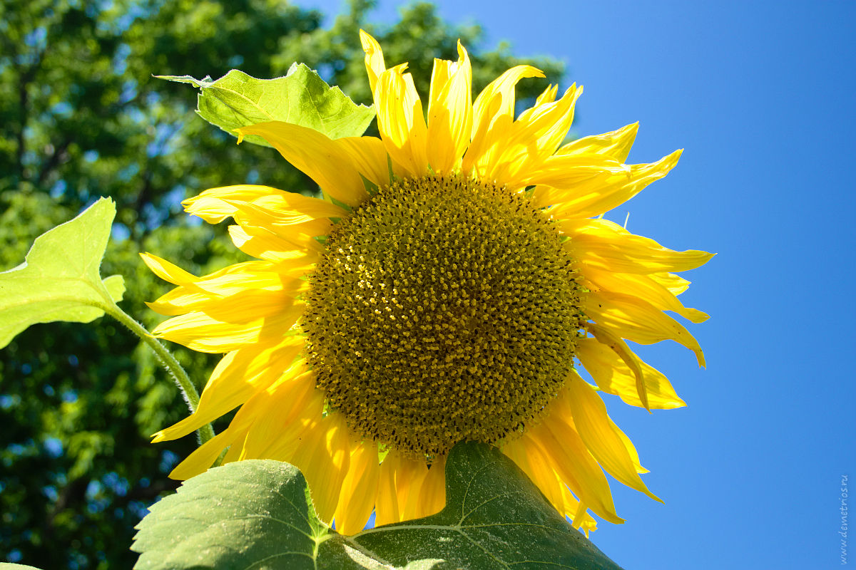 Подсолнух, лето. Sunflower