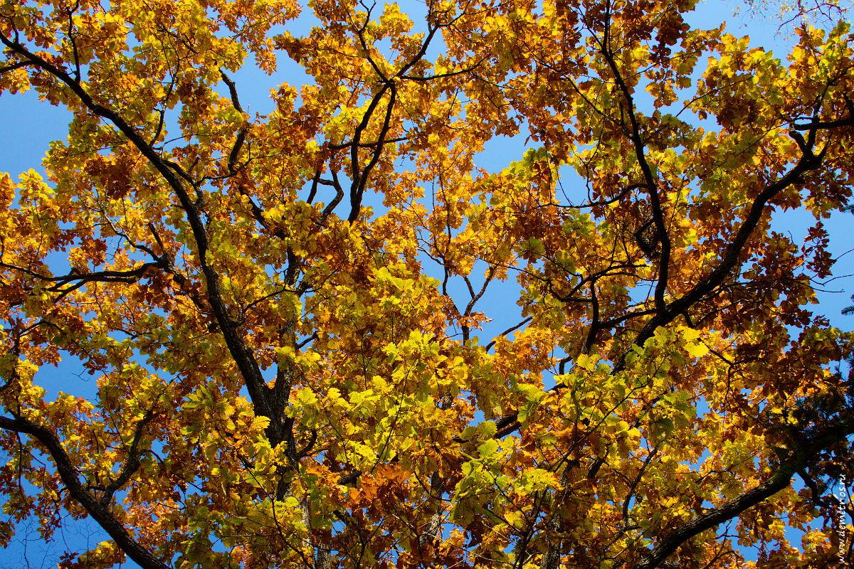Крона осеннего дуба. Autumn oak canopy