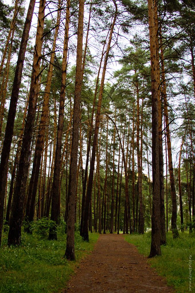 Сосны на берегу озера в Протвино