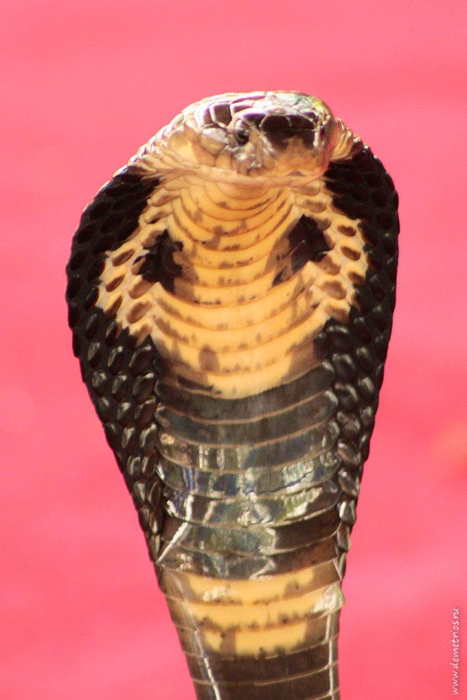 Индийская кобра (очковая змея)