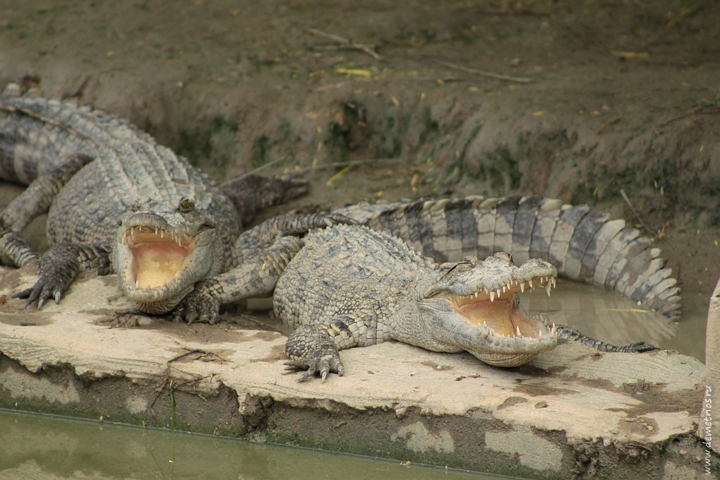 Чианг-Май. Ферма крокодилов