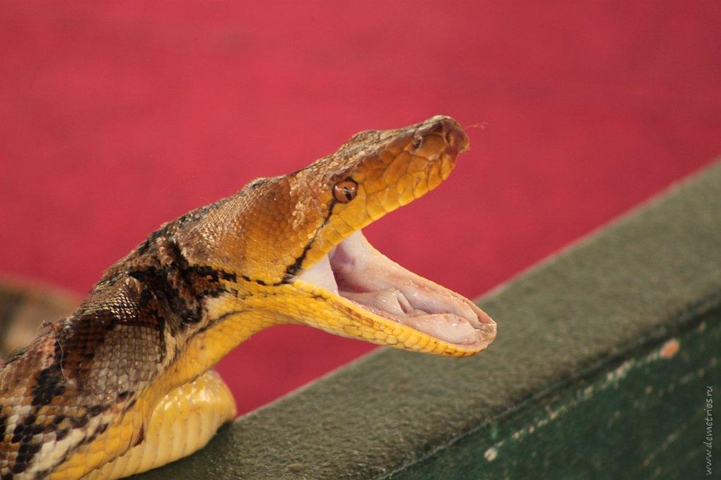 Чианг-Май: шоу змей