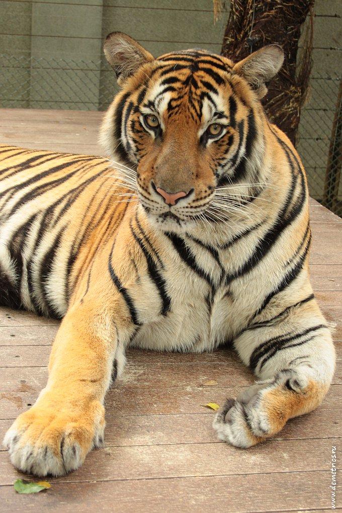 Чианг-Май. Tiger Kingdom. Тигр