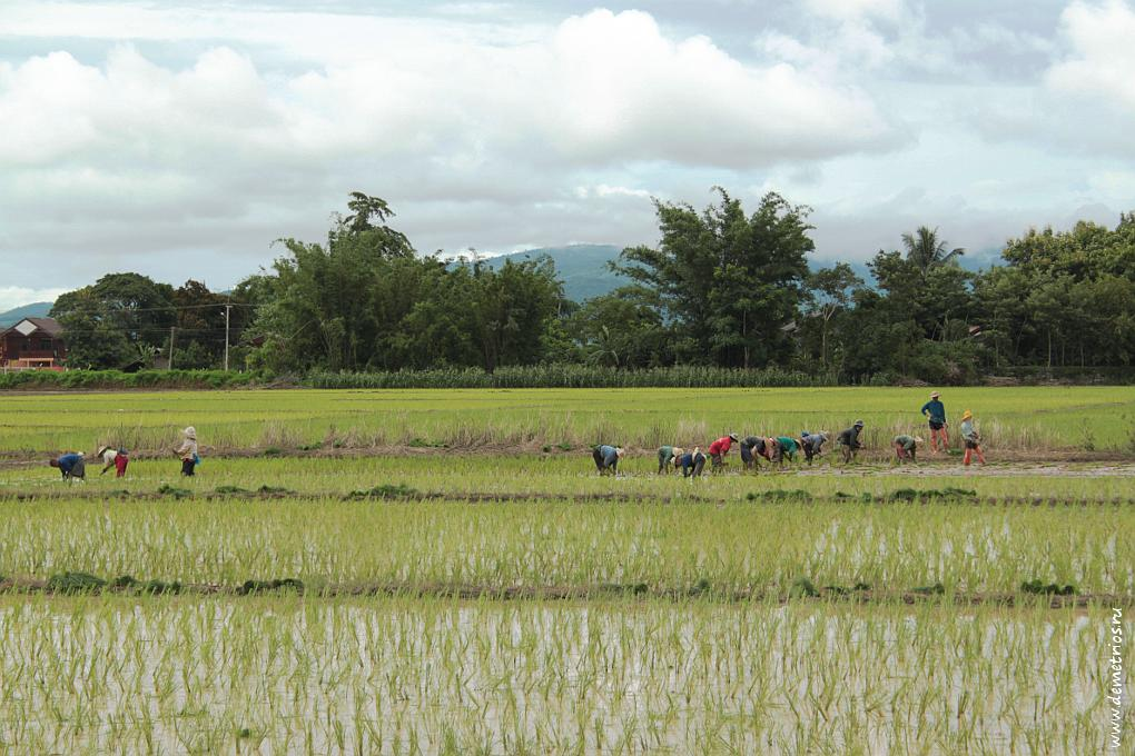 Чианг-Рай. Работники на рисовом поле