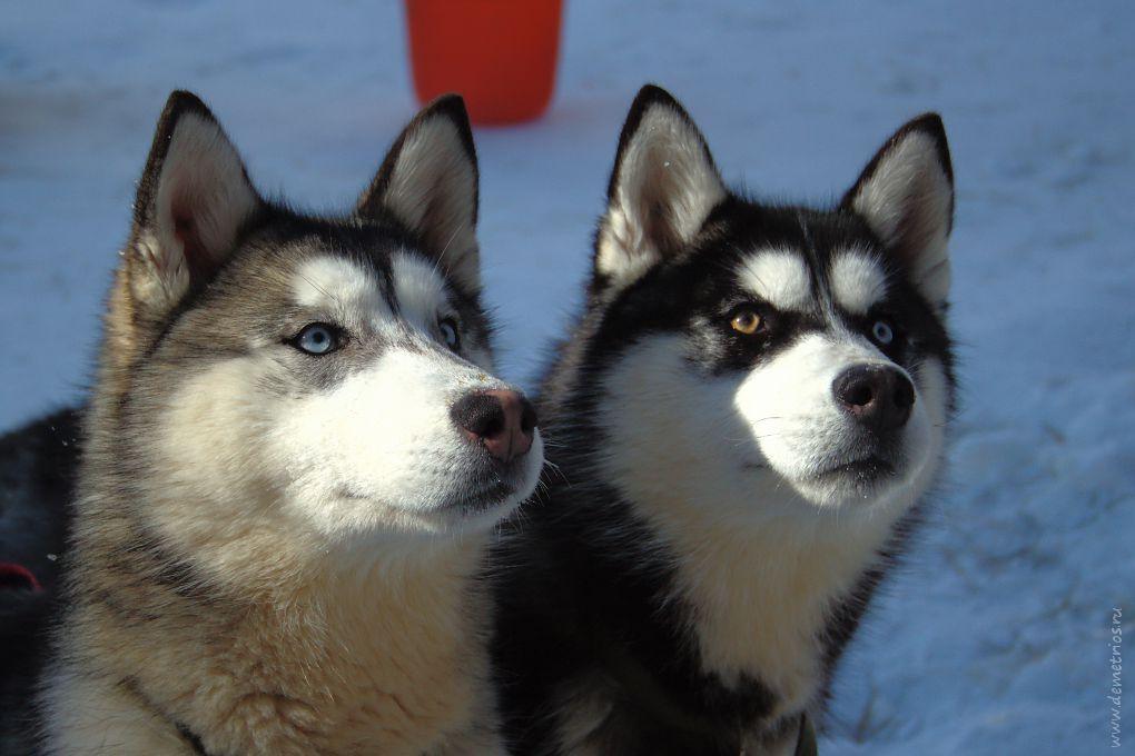 Ездовые собаки. Хаски. Горнолыжный курорт Чанбайшань