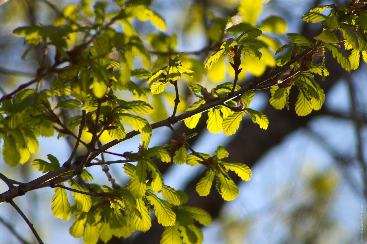 Молодые дубовые листья, весна, young oak leaves, spring