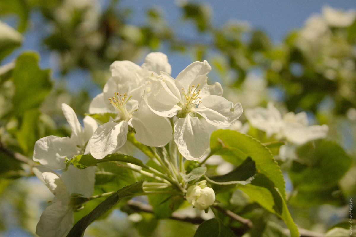 Цветы яблони; apple tree blossoms