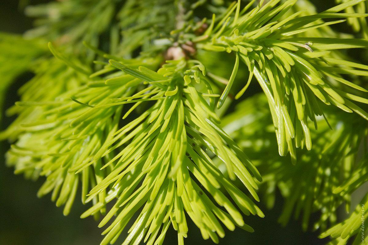 хвойная ветка, хвоя; needle, fir-needle