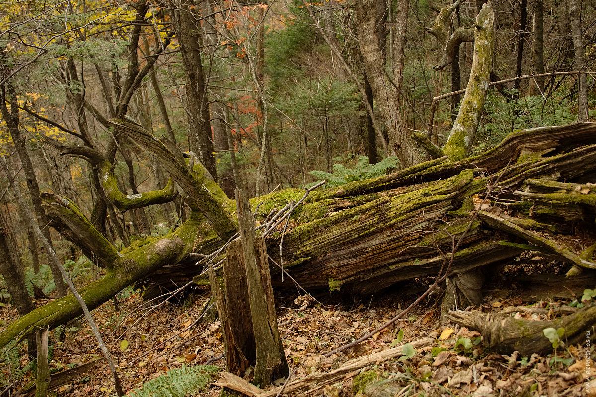 Упавший ствол старого дерева. Dead tree