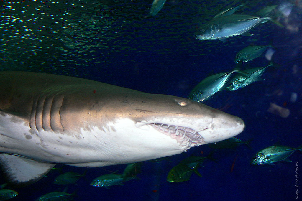 Сингапур. Сентоза. Океанариум. Акула. Singapore, Sentosa, Aquarium, Shark